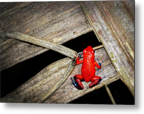 Blue Jeans Frog Metal Print featuring the photograph Blue Jeans Frog by Carolyn Derstine