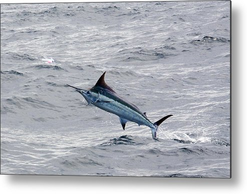 Blue Marlin Metal Print featuring the photograph Blue Marlin At Oregon Inlet North Carolina by Leo Miranda