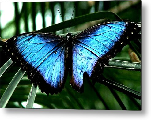 Blue Butterfly Morphm Animal Fly Flying Metal Print featuring the photograph Blue Morph by Diane Wallace