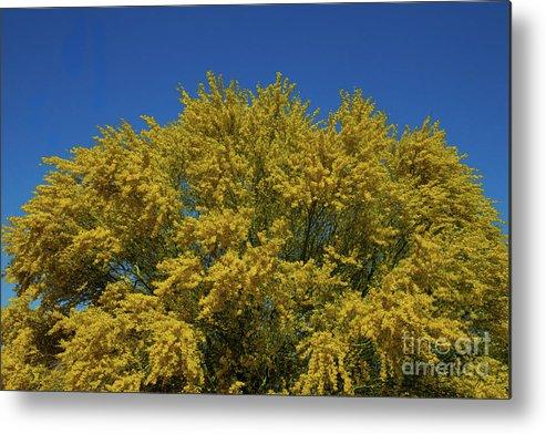 Blue Palo Verde Tree Signed 2312 Metal Print By J L Woody Wooden