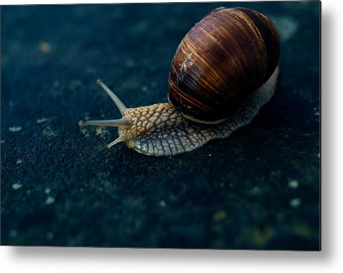 Blue Metal Print featuring the photograph Blue Snail by Pati Photography