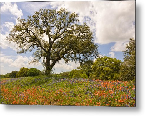Bluebonnet Metal Print featuring the photograph Bluebonnets Paintbrush And An Old Oak Tree - Texas Hill Country by Brian Harig