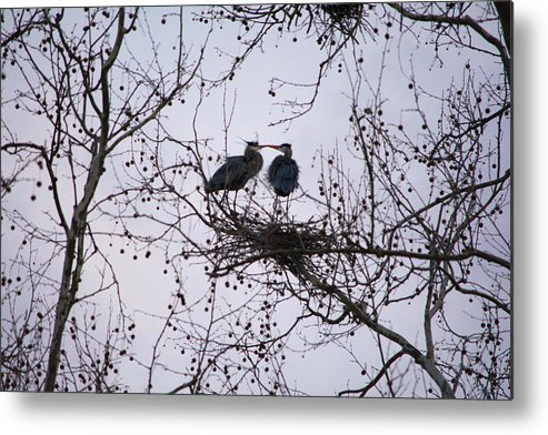 Blue Herron Metal Print featuring the photograph Blueherron Mating Time by Russ L Busse