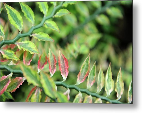 Blush Metal Print featuring the photograph Blushing Leaves by Jessica Rose