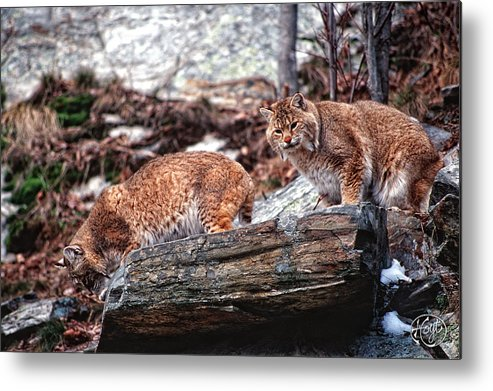 Bobcats Metal Print featuring the photograph Bobcats On The Loose by Brad Hoyt