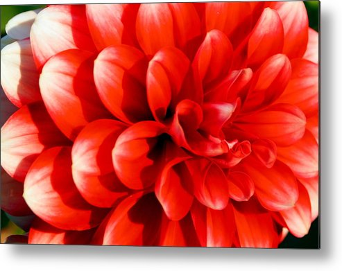 Close Up Metal Print featuring the photograph Bold And Beautiful by Beth Collins