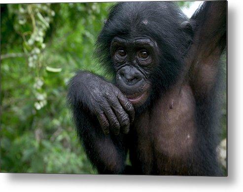 Mp Metal Print featuring the photograph Bonobo Pan Paniscus Juvenile Orphan by Cyril Ruoso