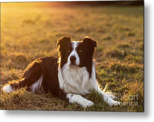 Activity Metal Print featuring the photograph Border Collie At Sunset With Warm Colors by Marco Siori