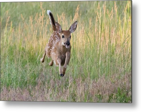 Fawn Metal Print featuring the photograph Bounding Bambi by Tony Hake