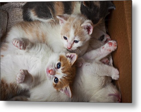 Kitten Metal Print featuring the photograph Box Full Of Kittens by Garry Gay