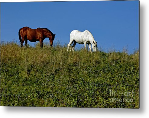 Animal Metal Print featuring the photograph Brown And White Horse Grazing Together In A Grassy Field by Sami Sarkis
