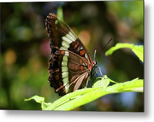 Brown Butterfly Metal Print featuring the photograph Brown Beauty by Bonnie Brann