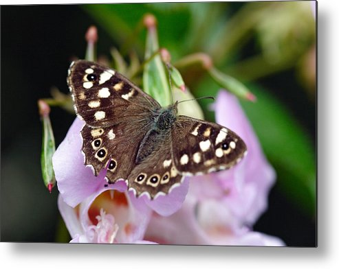Butterfly Metal Print featuring the photograph Brown Butterfly by Pierre Leclerc Photography
