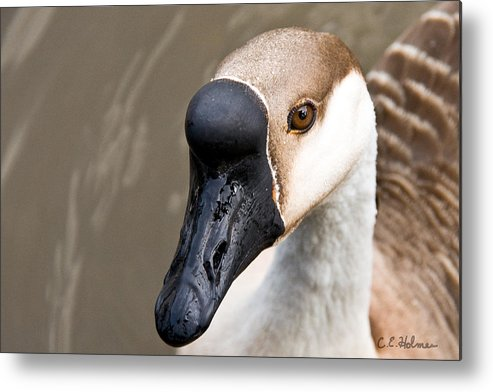 Chinese Brown Goose Metal Print featuring the photograph Brown Eye by Christopher Holmes