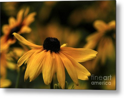 Flower Metal Print featuring the photograph Brown Eyed Susan by Dot Lestar