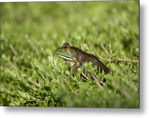 Amphibian Metal Print featuring the photograph Bull Frog by Tina B Hamilton
