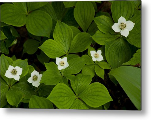 Wildflowers Metal Print featuring the photograph Bunchberry Blossoms by Irwin Barrett