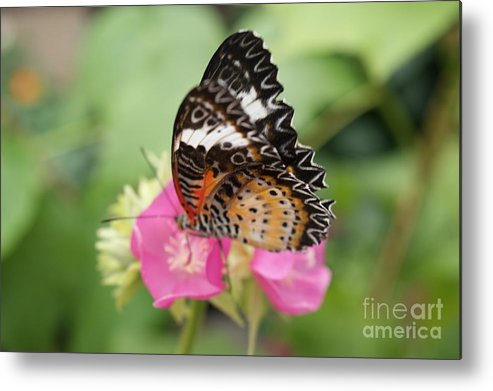 Metal Print featuring the photograph Butterfly 1 by Tina McKay-Brown