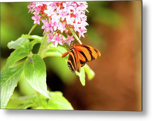 Bug Insect Flight Delicate Wings Metal Print featuring the photograph Butterfly-4 by Craig Hosterman