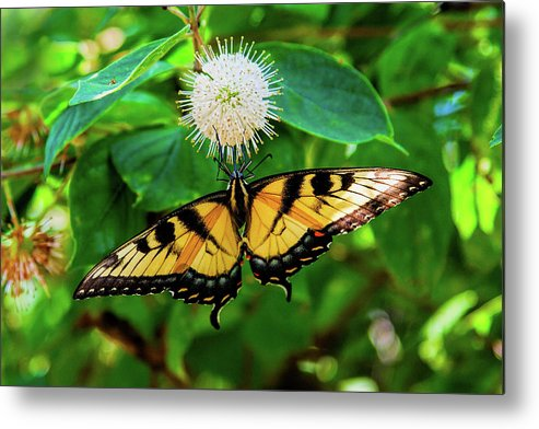 Butterfly Metal Print featuring the photograph Butterfly Beauty by Cynthia Frohlich
