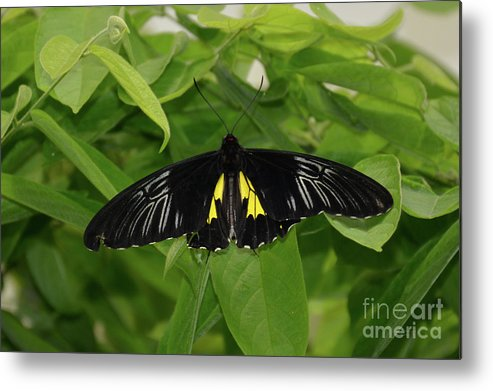 Butterflies Metal Print featuring the photograph Butterfly Black And Yellow by Jann Denlinger