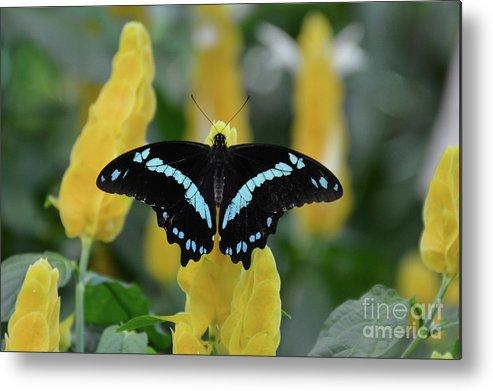 Butterflies Metal Print featuring the photograph Butterfly Blue Striped by Jann Denlinger