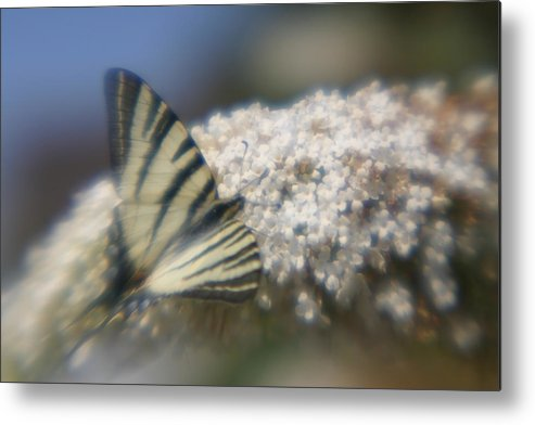 Butterfly Metal Print featuring the photograph Butterfly Dream by Jennifer McDuffie