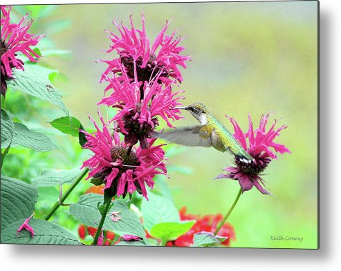 Hummingbird Metal Print featuring the photograph Butterfly Garden 25 by Keith Conrey