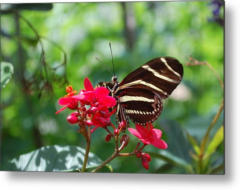 Butterfly Metal Print featuring the photograph Butterfly Garden by Amanda Lonergan