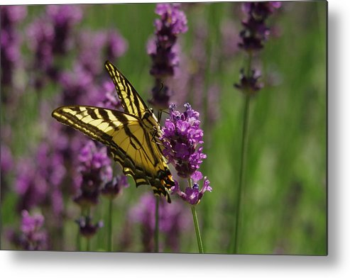 Butterfly Metal Print featuring the photograph Butterfly In Lavender by Jeff Swan
