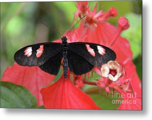 Butterflies Metal Print featuring the photograph Butterfly Blush by Jann Denlinger