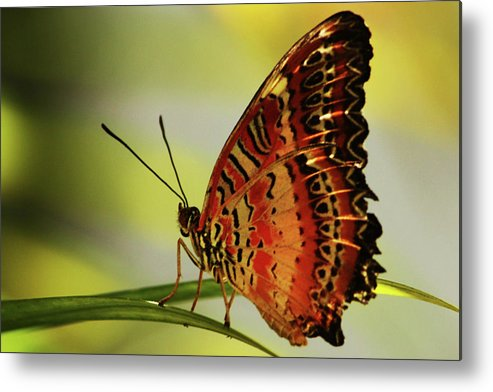 Butterfly Metal Print featuring the photograph Butterfly by Roger And Michele Hodgson