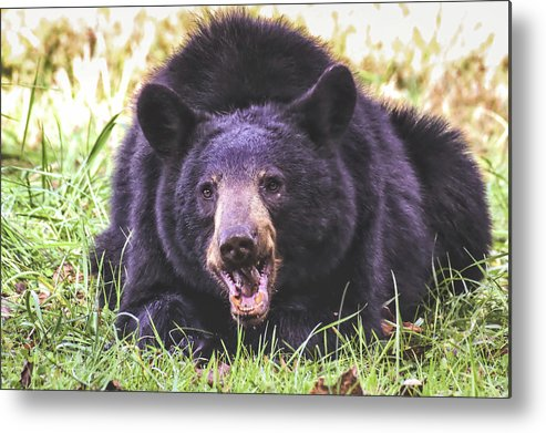 Cade's Cove Bear Metal Print featuring the photograph Cades Cove Black Bear by Mel Hensley