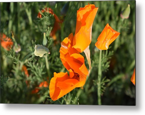 California Poppy Metal Print featuring the photograph California Morning by Cheryl Calhoun