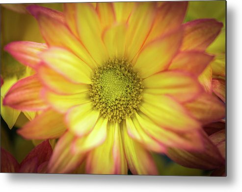 Chrysanthemum Metal Print featuring the photograph Candy-like by Calazone's Flics