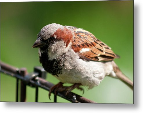 Little Brown Sparrow Bird Aves Perched Fenced Wings Beak Nature Metal Print featuring the photograph Captain Jack Sparrow by Craig Hosterman