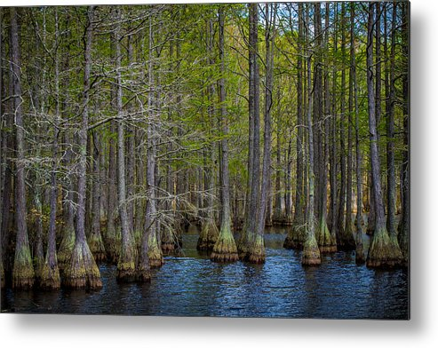 North Carolina Metal Print featuring the photograph Carvers Cypress by Tony Noto