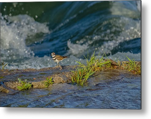 Killdeer Metal Print featuring the photograph Catching The Wave by Yeates Photography