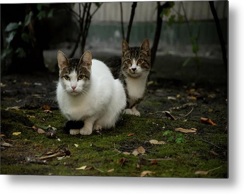 Cat Metal Print featuring the photograph Cats by Kate Markina