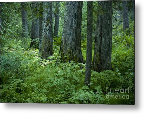 Grove Metal Print featuring the photograph Cedar Grove by Idaho Scenic Images Linda Lantzy