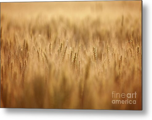 Field Metal Print featuring the photograph Cereal Field by Jana Behr