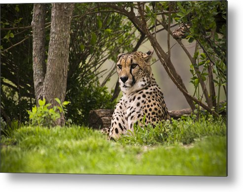 Chad Davis Metal Print featuring the photograph Cheetah Of The Hill by Chad Davis