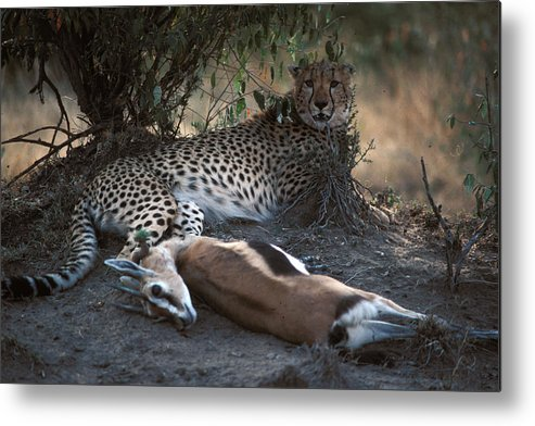 Spots Metal Print featuring the photograph Cheetah With Kill by Carl Purcell