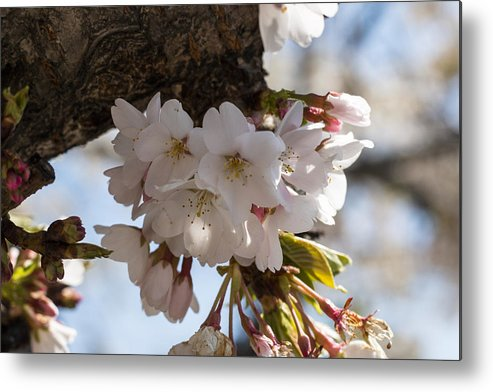 Cherry Blossom Metal Print featuring the photograph Cherish by Candalis Escudero