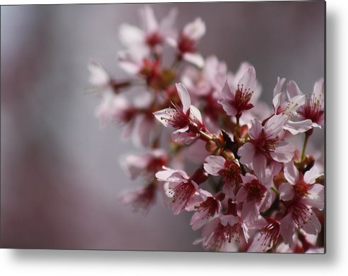 Day Metal Print featuring the photograph Cherry Blossoms II by Pamela Smith