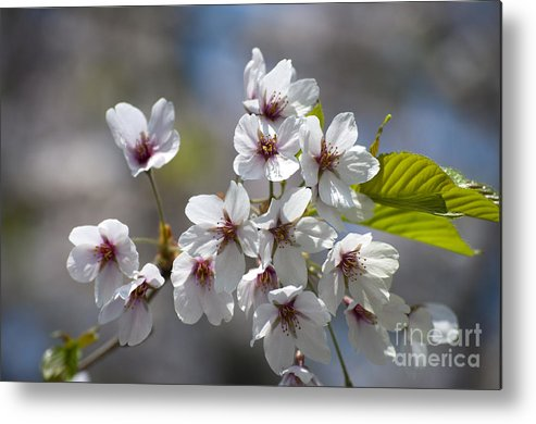Cherry Blossoms Metal Print featuring the photograph Cherry Blossoms In The Morning by Gary Chapple