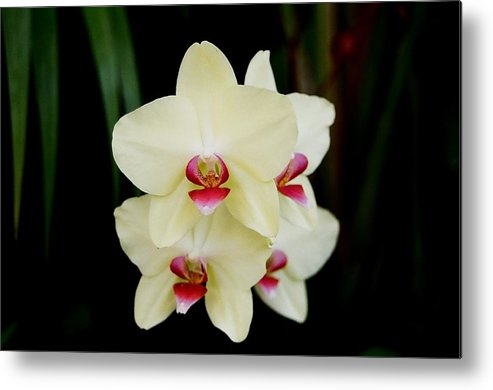 Ivory Metal Print featuring the photograph Cherry Vanilla by Betnoy Smith