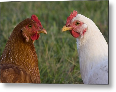 Chicken Hen Farm Rural Curious Bird Country Metal Print featuring the photograph Chickens by Andrei Shliakhau