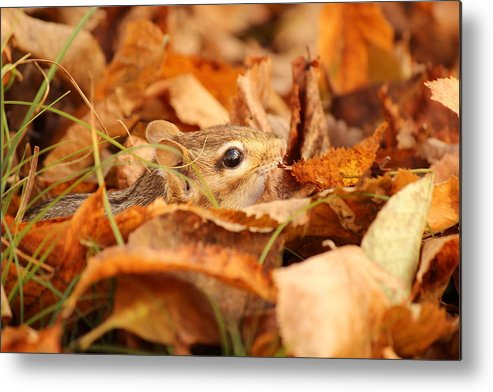 Chipmunk Metal Print featuring the photograph Chipmunk Among The Leaves by Deborah Jackson