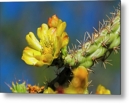 Arizona Metal Print featuring the photograph Cholla Flower H40 by Mark Myhaver